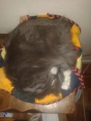 Button (tat2dqltr) Tags: cat sleepingcat button graycat curledupcat catcurlup