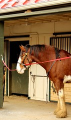Diesel, NCCo Mounted Patrol Horse (susanmbarlow) Tags: horse photograph delaware equus clydesdale carouselpark newcastlecounty equusferuscaballus newcastlecountypark newcastlecountymountedpatrol