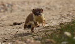 No1  Stoat Bounding towards me (GrahamParryWildlife) Tags: new uk sunlight field animal sport yellow photo kent flickr outdoor reptile small hunting sigma running shy run add tiny 7d weasel mk2 dungeness prey predator viewing depth hunt carnivore stoat mamal rspb mustela 150600 grahamparrywildlife
