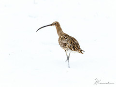 Eurasian Curlew_snow (JKonradsen Photography) Tags: winter snow bird nature weather birds norway frost wildlife migration naturephotography curlew wader eurasiancurlew birdphotography migratorybirds wildlifephotography stjrdal jkonradsen