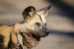 Anglų lietuvių žodynas. Žodis Dog reiškia šuo lietuviškai.