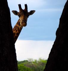 Giraffe peering between the trees (little_duckie) Tags: africa elephant zebra giraffe hippopotamus hyena zambia bigfive southluangwa southluangwanationalpark