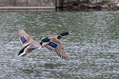 Ready for Landing (kevnkc2) Tags: park county duck spring pond nikon pennsylvania contemporary ducks sigma cumberland lightroom shippensburg d610 stdntsdoncooper 150600mm 150600f563