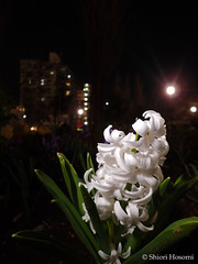 Hyacinthus orientalis (Shiori Hosomi) Tags: flowers plants japan night tokyo march nocturnal nightshot   hyacinthus 2016   asparagales asparagaceae  noctuary flowersinthenight noctivagant  23