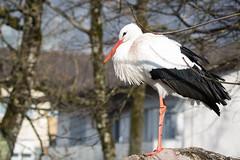 Stork (Cloudtail the Snow Leopard) Tags: bird animal tierpark stork tier vogel storch goldau