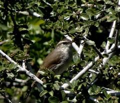 Bewick's Wren--Thryomanes bewickii (Polioptila caerulea) Tags: wren songbird passerine bewickswren thryomanesbewickii thryomanes meyerravinerd california bewr nevadacountybreedingbirdatlas nevadacounty