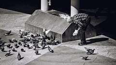 Lumbago pose (Per sterlund) Tags: street city bw food monochrome birds feeding sweden stockholm pigeons streetphotography panasonic sergelstorg bnw baw 2016 photographiederue gatufoto fotografadecalle fotografiadistrada strasenfotografie panasonicdmcgx7