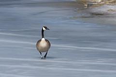 "Goose on ""Toilet Lake"" (Kurayba) Tags: park lake canada macro ice river walking 1 frozen pond edmonton pentax budget north version toilet super goose alberta valley series saskatchewan vivitar teleconverter k5 70210 rundle telezoom 2x f35 kiron 2xs pentaxa"