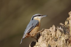 IMGP5965 Nuthatch, Lackford Lakes, March 2016 (bobchappell55) Tags: wild bird nature woodland suffolk wildlife lakes reserve trust nuthatch damp lackford