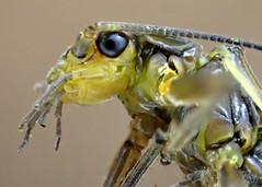 Stonefly head (bugldy99) Tags: macro nature animal insect arthropoda arthropod hexapod insecta stonefly hexapoda plecoptera