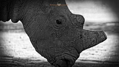 Rhino (Stephen Ball Photography) Tags: africa blackandwhite bw animal animals canon mammal safari rhino horn namibia bigfive whiterhino southernwhiterhino ef100400mm ceratotheriumsimumsimum stephenball canoneos5dmarkiii 5dmarkiii stephenballphotography canon5dmkiii5d wwwstephenballphotocom canonef100400mmf4556lisiiusm stephenballphoto