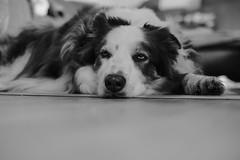 Anthony, The Border Collie (unbunt.me) Tags: blackandwhite dog blackwhite hund bordercollie australianshepherd acros ooc fujixpro2