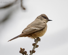 Say's Phoebe 20160326_2097 (GORGEous nature) Tags: bird march washington spring scenic stevenson skamaniaco perched vertebrates turdidae passerine saysphoebe sayornissaya crgnsa johndavis skamaniacofairgrounds