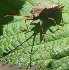 Dock bug - Coreus marginatus (John Steedman) Tags: uk greatbritain england london bug insect unitedkingdom shieldbug shieldbugs grossbritannien  hemiptera  heteroptera   grandebretagne coreusmarginatus    dockbug lederwanze