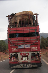Cows cab (nyoz_fr) Tags: travel mountains cat morroco maroc atlas