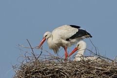 Weistorch (frodul) Tags: bird deutschland nest outdoor wildlife natur paar hannover ni horst stork vogel storch flgel frhjahr ciconiaciconia federkleid weisstorch