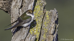 Violet-green Swallow (Bob Gunderson) Tags: california birds northerncalifornia southbay swallows santaclaracounty ranchosanantonio violetgreenswallow tachycinetathalassina