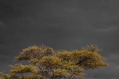 Yellow leaf tree... (Syahrel Azha Hashim) Tags: trip travel autumn light vacation mountain holiday detail tree fall weather clouds 35mm prime nikon colorful dof getaway details seasonal middleeast naturallight handheld shallow simple leafs oman dramaticsky muscat darkclouds highaltitude yellowleafs d300s syahrel jabalalakbar
