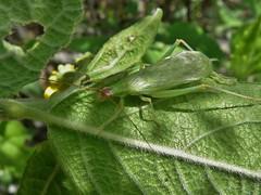Oecanthus varicornis (carlos mancilla) Tags: insectos crickets grillos treecrickets olympussp570uz oecanthusvaricornis grillosderbol