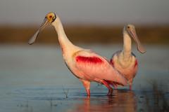 Pink Pair (PeterBrannon) Tags: bird nature sunrise inflight wings florida wildlife spoonbill roseatespoonbill wadingbird ajajaajaja sarasotacounty