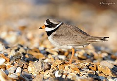 Ringed Plover (flickr quickr) Tags: waders plovers ringedplover charadriushiaticula