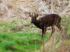 Roe Deer (robin denton) Tags: nature animal wildlife deer roedeer wildlifetrust yorkshirewildlifetrust