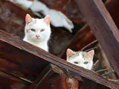 Face to face with the camera (1) (Marco Ottaviani on/off) Tags: cats mountain animals canon piemonte curiosity montagna piedmont gatti animali curiosit valvaraita chiazale varaitavalley marcoottaviani
