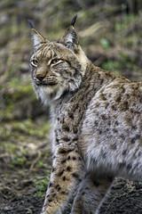 Mojak again (Tambako the Jaguar) Tags: wild portrait male cat zoo switzerland nikon waiting sitting farm bern lynx d4 lookingaround semiprofile johnskleinefarm