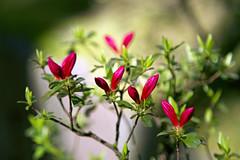 HAPPY EARTH DAY! (1crzqbn) Tags: flowers red sunlight flower color green nature garden shadows dof bokeh pdx azalea vvvvv lansuchinesegarden 1crzqbn