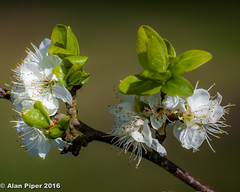 Plum Blossom (PapaPiper) Tags: plumblossom greatphotographers