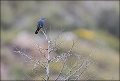Monticole bleu (Monticola Solitarius) (Laurent Cornu) Tags: birds aves bleu aragon espagne oiseau oiseaux riglos bluerockthrush monticolasolitarius mle muscicapidae mallosderiglos canon500f4 mainleve monticolebleu passereau passriformes muscicapids billebaude 7dii