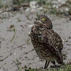 Keeping a lookout for mom (Fred Roe) Tags: nature birds wildlife birding raptor owl birdwatching birdwatcher athenecunicularia burrowingowl nikonafsteleconvertertc14eii nikond7100 nikkorafs80400mmf4556ged lca71c6786 brianpiccolosportspark