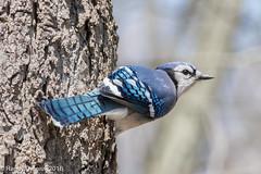 Nuthatch impersonation (rdroniuk) Tags: birds jay bluejay oiseaux smallbirds cyanocittacristata passerines geaibleu passereaux