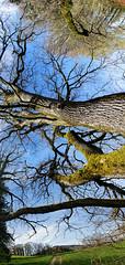 Upside Down [explored 20.04.2016] (Elisa Pasche) Tags: panorama tree strange forest landscape switzerland countryside upsidedown pano