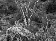 Leopard BW (GabrielJH) Tags: africa blackandwhite bw cats animals nikon kenya african wildlife reserve safari national samburu bigfive leopards d7200