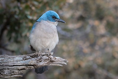 Electric Blue (gseloff) Tags: camping bird wildlife westtexas bigbendnationalpark bbnp chisosmountains mexicanjay tm1 tollmountain gseloff