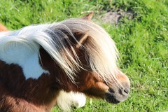Pony (dariusz_ceglarski) Tags: horses horse holland netherlands dutch closeup canon zoo ngc nederland zeeland pony netherland holanda nl hollands goeree zuid niederlande holand kon middelharnis zuidholland oudetonge goereeoverflakkee netherlads dariusz holandsko konik konijntje holandia hollanda southholland k dirksland herkingen nederlando ceglarski holadnia goereeover dariuszceglarski