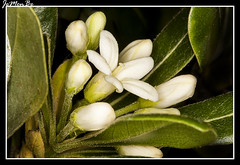 Pitosporo ( Pittosporum tobira) (jemonbe) Tags: seto pittosporum pittosporaceae pittosporumtobira pitosporo azahardelachina jemonbe