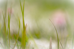 aprilfarben im gras (ponyQ) Tags: schnee natur wiese blte farbe abstrakt frhling helios44m vertrumt unschrfe aprilwetter experimentellesobjektiv
