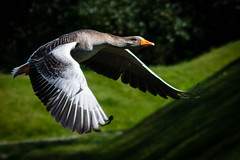 Goose 3 (grahamrobb888) Tags: birds wings flight goose galloway ballantrae nikond800 sigma120400mm