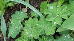 IMG_0274 (Landei Photography) Tags: flower green water rain pflanze grn regen wassertropfen