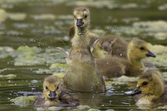 Canada Goslings 4-30-2016-2 (Scott Alan McClurg) Tags: life wild baby canada bird nature water animal swimming swim geese spring woods wildlife goose neighborhood wetlands suburbs gosling gliding waterfowl flapping flap canadagoose canadageese waterbirds naturephotography glide branta anserinae anserini bcanadensis babygosling