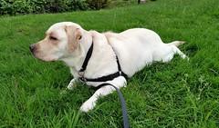 Gracie lying on green, green grass (walneylad) Tags: dog pet cute puppy spring gracie lab labrador canine april labradorretriever