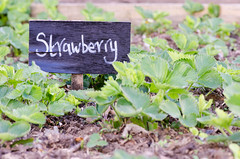 Strawberry sign in front of plants in vegetable patch (Ian Redding) Tags: uk summer food plants white black english leaves fruit garden spring strawberry natural label painted cottage foliage growth crop british growing organic handwritten vegetablepatch communitry