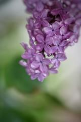 Purple lilac in the rain (JPShen) Tags: rain day purple lilac rainy