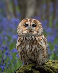 Tawny Owl in the bluebells (susie2778) Tags: bluebells olympus owl bwc captive tawny strixaluco britishwildlifecentre 40150mmf28pro omdem5mii