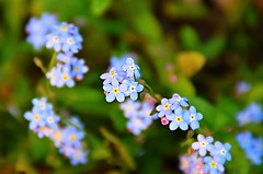 Non ti scordar di me (francesco_43) Tags: nature nikon bokeh explore azzurro challenge sfocato fiorellini fioridicampo nikond7000 maggio2016challengewinnercontest