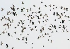 Regenpfeifer und Kiebitz Schwarm (Michael Emmerich (Photographer)) Tags: portugal flight lapwing vanellusvanellus riaformosa kiebitz