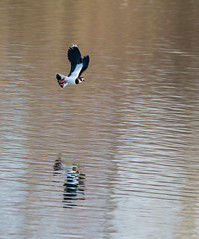 033a (290) (Baffledmostly) Tags: reflection flying lapwing brandonmarsh canon100400mmmk2