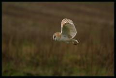 Barn Owl ~ Explored (Foxley65) Tags: barn norfolk owl